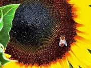 A bumblebee rests on a sunflower. The 41st world apiculture congress, where 10,000 beekeepers, entomologists and other actors in the honey business are gathered, will try to understan what is killing bees. (AFP/File/Karen Bleier)