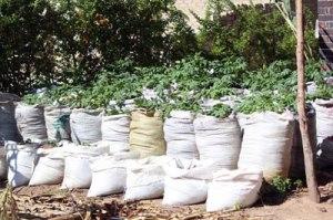 Potato plants in the backyard of Lina Chingama, 44, from Zimbabwe's Norton town, 40 kilometres west of the capital Harare. Credit: Jeffrey Moyo/IPS