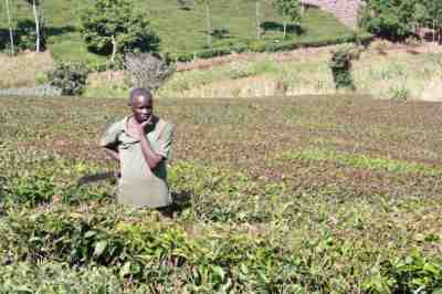 A tea farmer in Nyeri County, central Kenya contemplates what to do after his crop was damaged by severe weather patterns. Credit: Miriam Gathigah/IPS