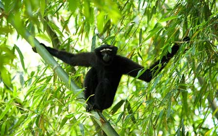 The hoolock gibbon is just one species whose numbers have crashed since 1970 and is now endangered Photo: Alamy