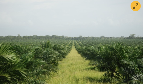 Four oil palm plantations connected to the Palmas del Espino company are proposed in the northern Peruvian Amazon. Photograph: David Hill/David Hill