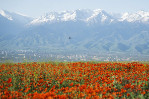 A bird flies over a blossoming poppy field against the backdrop of a city and the Tien Shan mountains at outskirts of Almaty, Kazakhstan, May 14. (Shamil Zhumatov/Reuters)
