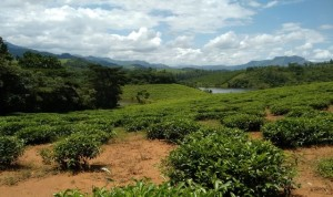 Tea plantations in Chipinge, Zimbabwe. Photograph by Ngoni Shumba.
