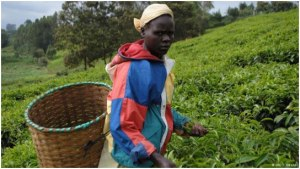 Alice Muthoni picking tea in Makomboki, central Kenya. @DW/D. Omondi